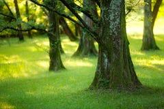 Yews di legno Fotografia Stock Libera da Diritti