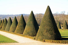 Yews trimmed cone,  summer (France) Stock Images