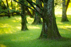 Yews wood Royalty Free Stock Photo