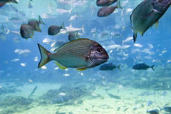 YFBream. Yellow-finned Bream (Acanthopagrus australis) with other fish Royalty Free Stock Photography