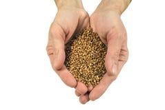 The yield of buckwheat Royalty Free Stock Image