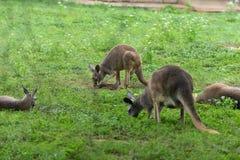 Yimidhirr-кенгуру партии-Guugu обедающего Стоковая Фотография RF