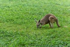 Yimidhirr-кенгуру фуражировать-Guugu Стоковые Фото