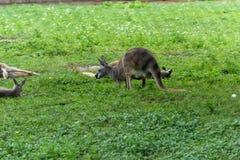 Yimidhirr-кенгуру фуражировать-Guugu Стоковое Изображение RF