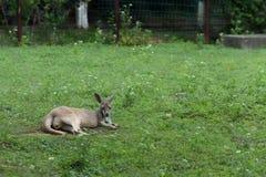 Yimidhirr-кенгуру Guugu Стоковое Фото