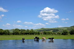 Yimin River herd of cattle drinking water Stock Images