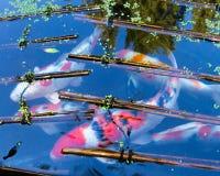 Yin | Yang Koi Fish immagine stock