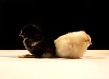 Ying&yang...(2). Is a photo with 2 chickens, one is black the other one is white like ying&yang Royalty Free Stock Photo