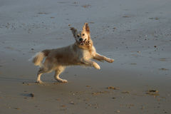 Yippee!. Young Golden Retriever anticipating a stick being thrown Stock Photography