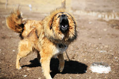 yipping Tibetan Mastiff Stock Image