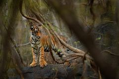 Yiung Indian tiger, wild animal in the nature habitat, Ranthambore, India. Big cat, endangered animal hidden in forest. End of dry stock photos