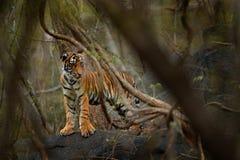 Yiung Indische tijger, wild dier in de aardhabitat, Ranthambore, India Grote kat, bedreigd die dier in boseind van droog wordt ve stock foto's