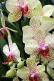 Żyłkowane orchidee Zdjęcie Royalty Free
