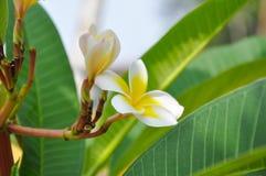 Ylang kwiat Zdjęcie Stock