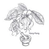 Ylang-Ylang médico da planta Imagens de Stock