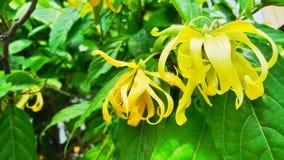Ylang-ylang no fundo verde da folha imagem de stock
