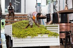 Ylang ylang,香是,马达加斯加 免版税图库摄影