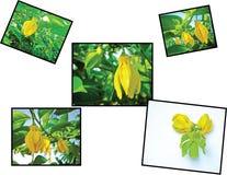 Ylang Ylang Lizenzfreies Stockfoto