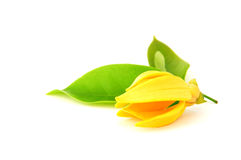 Ylang-Ylang Stock Photography