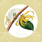 Ylang ylang illustrazione di stock