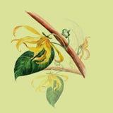 Ylang ylang Acquerello che dipinge piante medicinali, della profumeria e del cosmetico Carta da parati dei rami Fotografia Stock