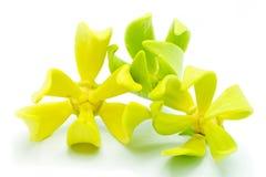 Ylang Ylang blomma arkivbilder