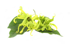 Ylang-ylang Blume stockfotos