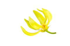 Ylang-Ylang flower Royalty Free Stock Photos