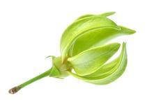 Ylang-Ylang Flower Stock Image