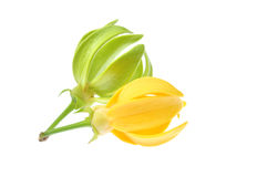 Ylang-Ylang Flower Stock Photos