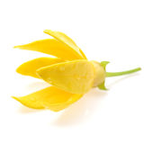 Ylang-Ylang Flower Stock Photography
