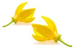 Ylang-Ylang Flower Royalty Free Stock Photography