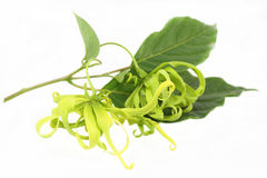 Ylang Ylang Flower Stock Image