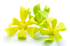 Ylang Ylang flower Stock Images