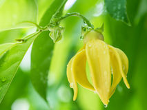 Ylang-ylang flower tree. Closeup Ylang-ylang flower with green leaf background after rain royalty free stock photography