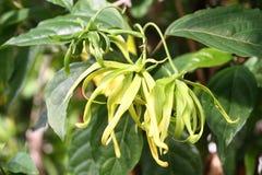 Ylang ylang flower Stock Photo