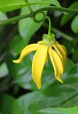 Ylang-Ylang Flowers Stock Photos