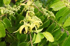 Ylang Ylang flowers cananga odorata Royalty Free Stock Photography