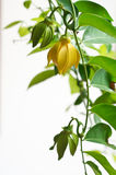 Ylang ylang. Flowers on tree Royalty Free Stock Photography