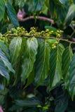 Ylang-Ylang Stock Image