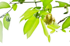 Ylang-Ylang Flowers on tree , Thailand Royalty Free Stock Photo