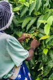 Ylang-Ylang harvest Royalty Free Stock Photo