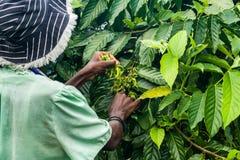 Ylang-Ylang harvest Stock Photo