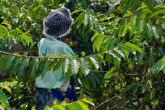 Ylang-Ylang harvest Royalty Free Stock Image