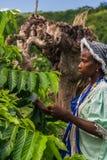 Ylang-Ylang harvest Stock Photography