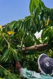 Ylang-Ylang harvest Stock Image