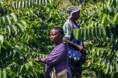 Ylang-Ylang harvest Royalty Free Stock Images