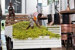 Ylang-ylang, neugierig ist, Madagaskar Lizenzfreie Stockfotografie