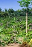 Ylang-Ylang Royalty Free Stock Images