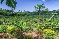 Ylang-Ylang Royalty Free Stock Photo